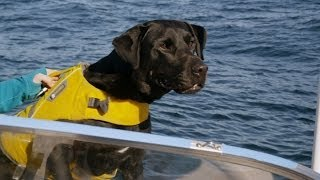Killer Whale Sniffer Dog - Killer Whales: Beneath the Surface - Natural World - BBC Two