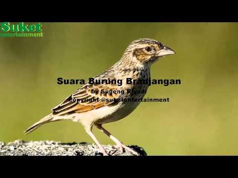Download Suara Burung Branjangan mp3