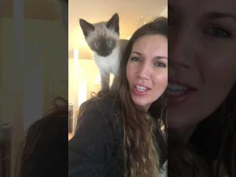 Tonkinese / Siamese kitten on shoulders