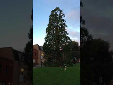 Giant redwood (Sequoiadendron giganteum) - tree - February 2018