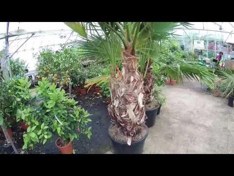 Large Specimen Washingtonia robusta at Big Plant Nursery, West Sussex