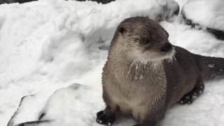 Snow day for rescued river otters at Oregon Zoo