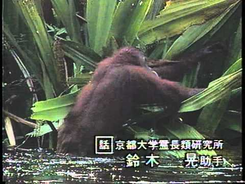 地球ファミリー「タモリがせまる類人猿のびっくり世界」2/5 - YouTube