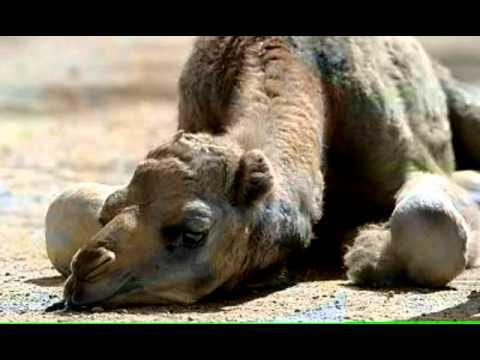 Kamel Spiel