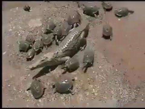Вопрос: Что случится с крокодилом если он проглотит черепаху в панцире?