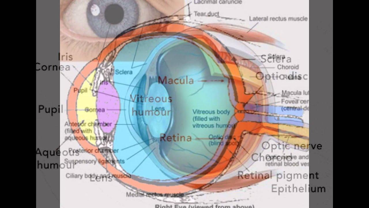 Eye Anatomy And Physiology - YouTube