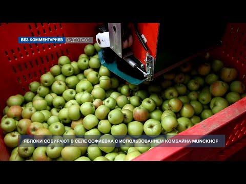 В Крыму начался сбор урожая яблок в садах ООО «Яросвит-Агро»