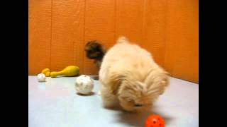 Lhasa Apso, Puppies, For, Sale, In, Edmond, Oklahoma, OK, Cleveland, Comanche, Canadian, Rogers, Pay