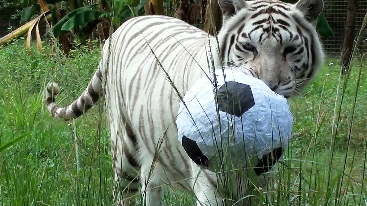 Image result for cats with soccer balls