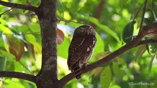 Collared owlet - Ошейниковый воробьиный сыч