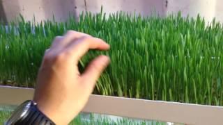 Гидропонная установка. Версия 4.0(Установка для проращивания ГЗК(гидропонного зеленого корма), витграсс Наш Instagram @ecofermerkz., 2016-05-28T17:49:24.000Z)