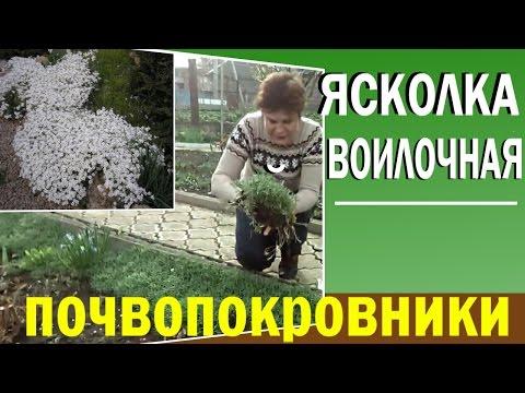 Почвопокровные растения для сада. Ясколка войлочная.