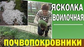 видео Ясколка - посадка и уход в открытом грунте