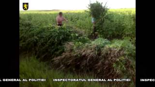 Trei hectare de plante de cînepă, depistate și distruse de polițiști
