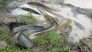 The Best Fishing Videos On Rice Field In Cambodia - Catch Fish By Hand In a Small Creeks