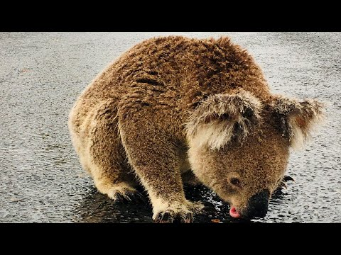 Desperate Koala in Australia gets a drink of water