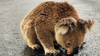 koala-in-australia-gets-a-needed-drink-of-water