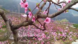 Cherry Blossom Festival - Spring Of China