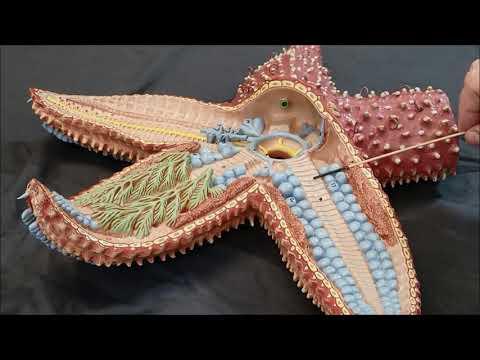 Sea Star Model