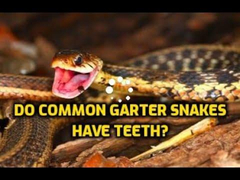 How to Get Rid of Garter Snakes   Garter Snake Teeth