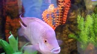 Аквариум в ПХ(Экзотические рыбы больших размеров., 2010-05-08T16:31:14.000Z)