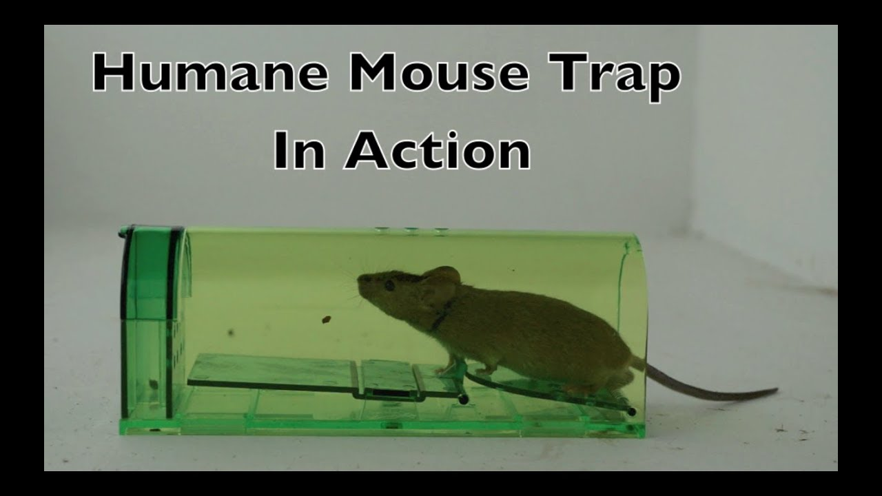 515f347776f Humane Mouse Trap In Action - Full Review With Real Mice & Motion Cameras