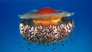 Нашествие медуз. Смотрите только в кинотеатрах Одессы / Invasion of the jellyfish