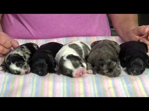 Luna's New Born Litter of Miniature Schnoodles  posted today June 13, 2019