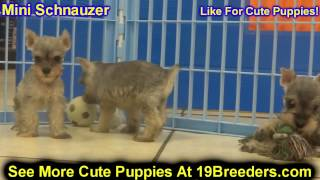 Miniature Schnauzer, Puppies, For, Sale, In, Des Moines, Iowa, Ia, Bettendorf, Marion, Cedar Falls,