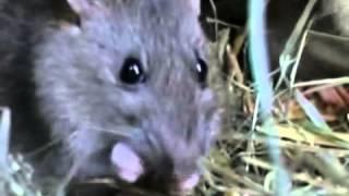 evde fare ilaçlama aydın, aydında fare ilaçlama evde yerinde ilaçlama Video