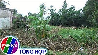 THVL | Hơn 150 gốc bưởi của người dân ở Tiền Giang bị phá hoại