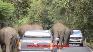 wild elephant family very angry with cars