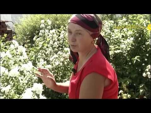 Дивно цветут чубушники