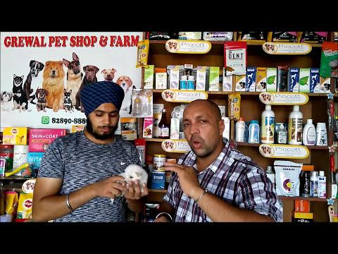 Pet Care - Check Dog Temperature - Bhola Shola