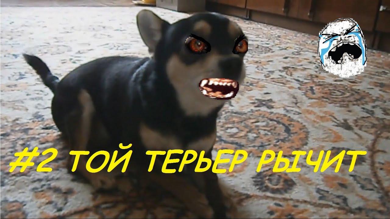 русский той терьер мини уход за ушками: