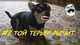 Русский Той Терьер Джерри - рычит и чавкает. Той Терьер кушает лакомство.