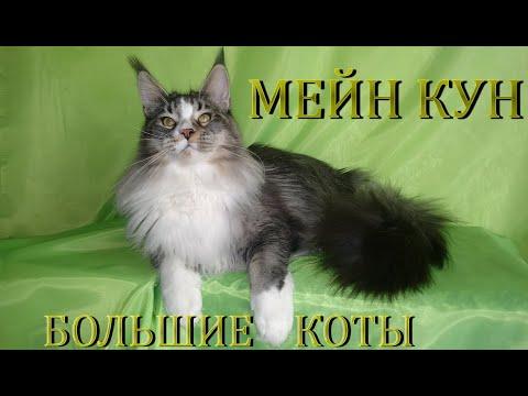 Мейн Кун  - самый ласковый и добрый кот