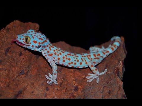 handling tame tokay gecko youtube