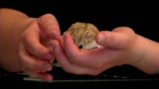 Pet Rodents : How to Train a Hamster