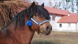 Гуцульські коні в Незвіданому Закарпатті. (03.12.16)