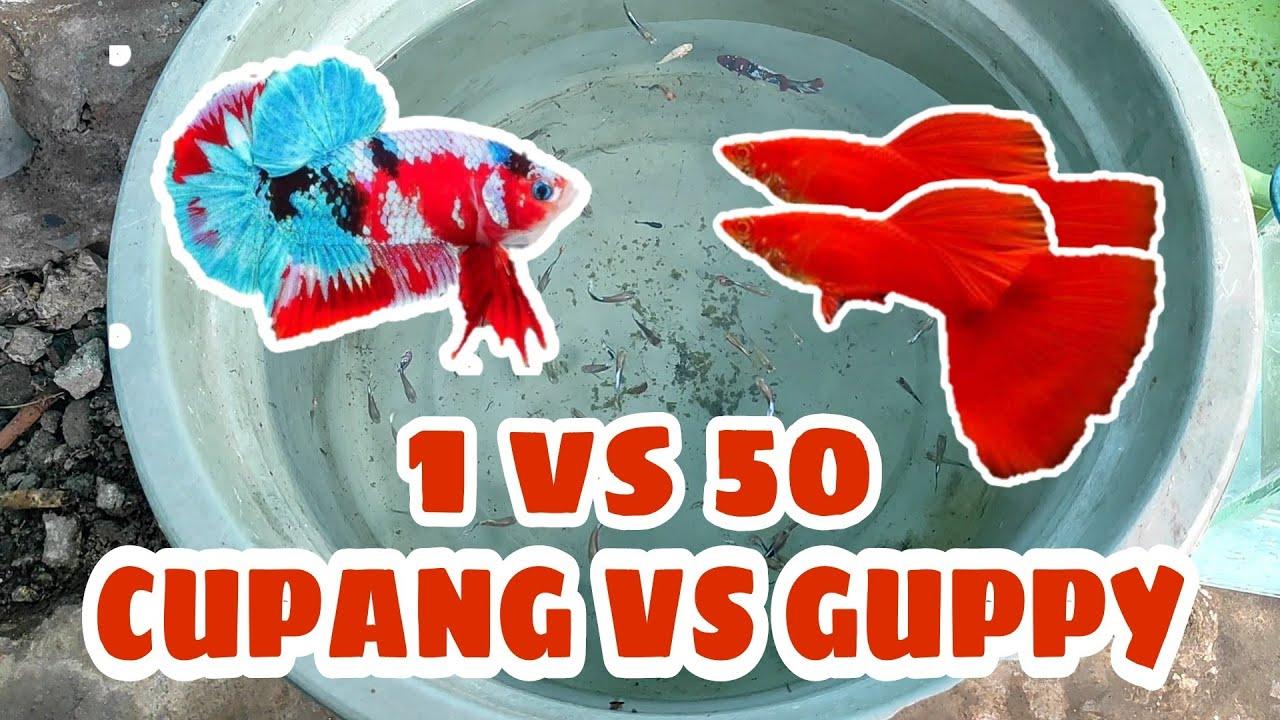 1 Ikan Cupang Red Koi Galaxy Vs 50 Ikan Guppy Cobra Youtube