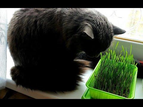 Как вырастить траву для котика дома   How To Grow Grass For A Cat At Home