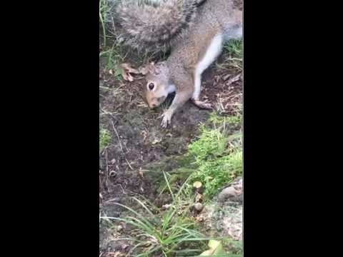 Squirrel gets stoned on mushrooms