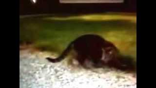 Video Cat attacked by chipmunk for dinner download MP3, 3GP, MP4, WEBM, AVI, FLV Januari 2018