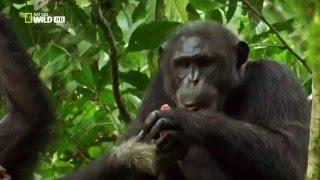 Стайные охотники. Шимпанзе