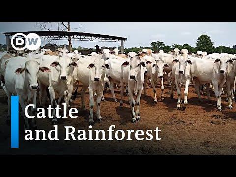 Brazil: Appetite For Beef Eats Into Rainforest   Global Ideas