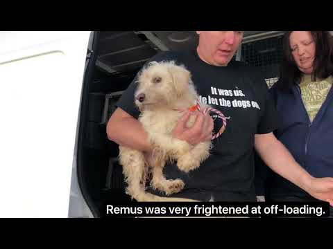 Terrified Puppy Mill Rescue Mini Schnauzer Receives Rehabilitation & Finally A Forever Home