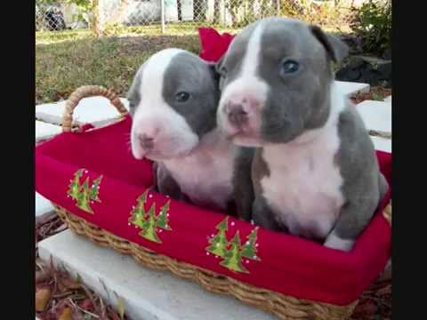 Blue Nose Pit bull Puppies for Sale in Fort Lauderdale Pompano Beach  Deerfield Hollywood Florida