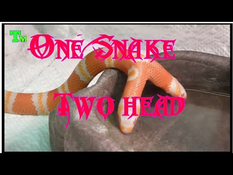 One Snake two heads ||dual head snake ||by technical mamdul