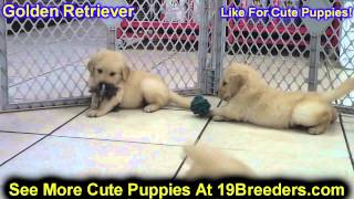 Golden Retriever, Puppies, For, Sale, In, Allegheny, Pennsylvania, Pa, Bucks, Chester, County, Berks
